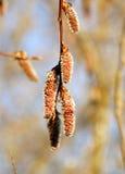 Brincos de uma árvore, brincos marrons de uma árvore de um amieiro Imagem de Stock