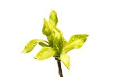 Brindille avec des feuilles d'isolement sur le blanc Photos stock