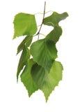 Brindille avec la feuille de l'arbre de bouleau Photographie stock