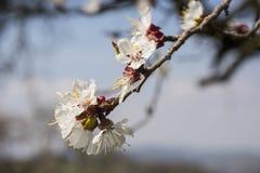 Brindille avec la fleur d'abricot Photo libre de droits