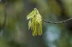 Brindille avec la fleur et les feuilles d'un arbre de peuplier blanc ou Populus albal dans le printemps, Sofia images stock