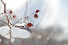 Brindille avec la hanche rouge détail en de Frost †« Images stock