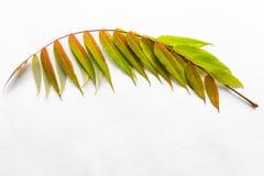 Brindille avec les lames vertes Photographie stock
