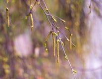 Brindille d'arbre de naissance avec des chatons Image stock