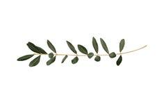 Brindille d'olivier avec des lames d'isolement sur le blanc Photos libres de droits