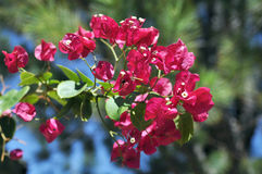 Brindille d'usine avec beaucoup de fleurs rouges Image stock