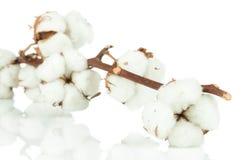 Brindille de coton Photographie stock