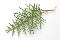 Brindille de Cypress photographie stock libre de droits