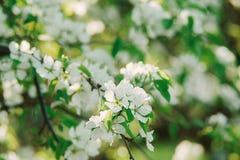 Brindille de floraison de cerise Photos libres de droits