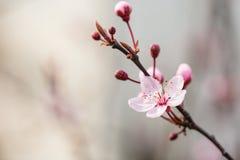 Brindille de floraison de cerise Photographie stock libre de droits