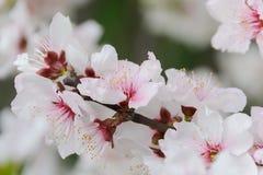 Brindille de floraison de cerise dans des couleurs douces Image stock