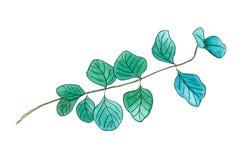 Brindille de gomme de dollar en argent de feuille d'eucalyptus ou illustration stock