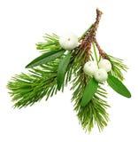 Brindille de gui et branche d'arbre de sapin Photo stock