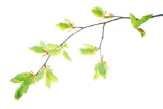 Brindille-de-hêtre-arbre-avec-translucide-jeune-feuille-isoler-sur-blanc-fond Photographie stock