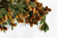 Brindille de pin avec des cônes d'isolement en haut de l'image Image libre de droits