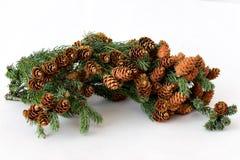 Brindille de pin avec les cônes abondants Photographie stock libre de droits