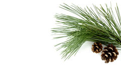 Brindille de pin et de cônes naturels de pin Images stock