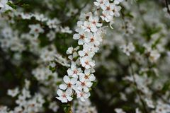 Brindille de pommier, fortement fleurie, ressort dans plein image libre de droits
