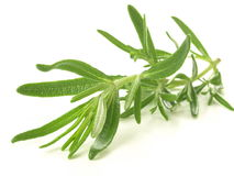 Brindille de Rosemary Image stock