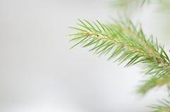 brindille de sapin de neige de fond Photographie stock libre de droits