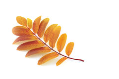 Brindille de sorbe-arbre Photographie stock