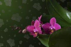 Brindille des fleurs tropicales d'orchidée Photographie stock