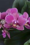 Brindille des fleurs tropicales d'orchidée Images stock