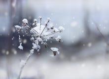 Brindille figée de fleur en chutes de neige de l'hiver Image libre de droits