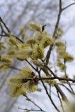 Brindille fleurissante de saule Photo libre de droits