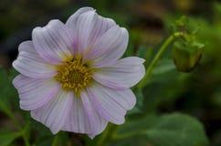 Brindille fraîche de fleur rose de fleur de Dahlia Flower dans le jardin, Sofia Photos stock