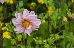 Brindille fraîche de fleur rose de fleur de Dahlia Flower dans le jardin, Sofia Photos libres de droits