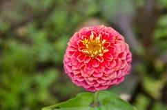Brindille fraîche de fleur rose de fleur de fleur de zinnia dans le jardin, Sofia Photo libre de droits