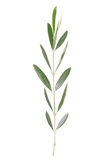 Brindille olive Photos libres de droits