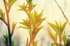 Brindilles avec de jeunes feuilles à la lumière du soleil lumineuse Photos stock