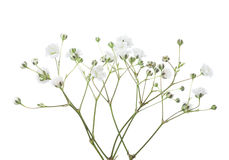 Brindilles avec des fleurs de Gypsophila d'isolement sur le fond blanc photos libres de droits