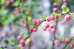 Brindilles avec les bourgeons roses Images stock