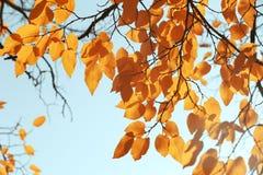 Brindilles avec les feuilles d'or ensoleillées le jour d'automne image libre de droits