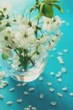 Brindilles blanches de fleurs de cerisier dans le vase en verre sur le fond de papier bleu Copiez l'espace Foyer sélectif photographie stock