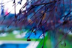 Brindilles bleues au printemps images libres de droits