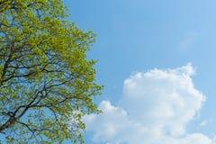 Brindilles d'arbre avec les jeunes feuilles brillantes vertes sur le fond de ciel bleu avec le nuage photo libre de droits