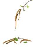 Brindilles de bouleau de source Image stock