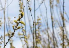 Brindilles de floraison de saule sur le fond de ciel bleu Photographie stock libre de droits