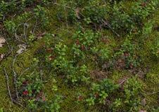Brindilles de fond et canneberges de baies sur le MOS de vert forêt images libres de droits