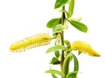 Brindilles de ressort de saule avec de jeunes feuilles de vert et chaton jaune Photographie stock libre de droits