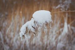 Brindilles de scenewinter d'hiver couvertes de motte de terre tubulaire de neige de canne Images stock