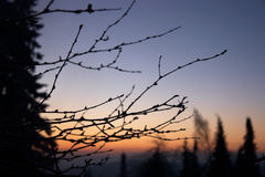 Brindilles et arbres en matin Photos libres de droits