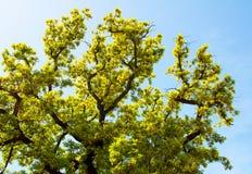 Brindilles, feuilles et ciel de chêne Images stock