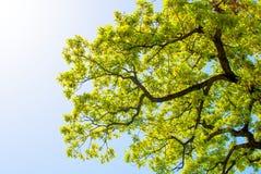 Brindilles, feuilles et ciel de chêne Image libre de droits