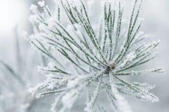Brindilles givrées de pin en hiver couvert de givre Photo libre de droits