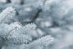 Brindilles givrées de sapin en hiver couvert de givre Photo stock